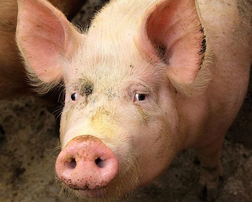 Pig Farm Insurance